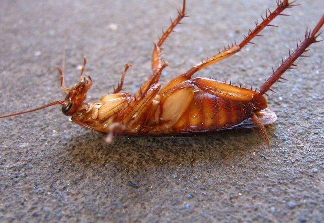 Как убить тараканов борной кислотой